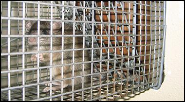 Rat Control of San Francisco CA